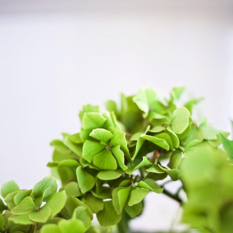 hydrangea-hortensia-gardening-yellowmood-hannamarirahkonen 3