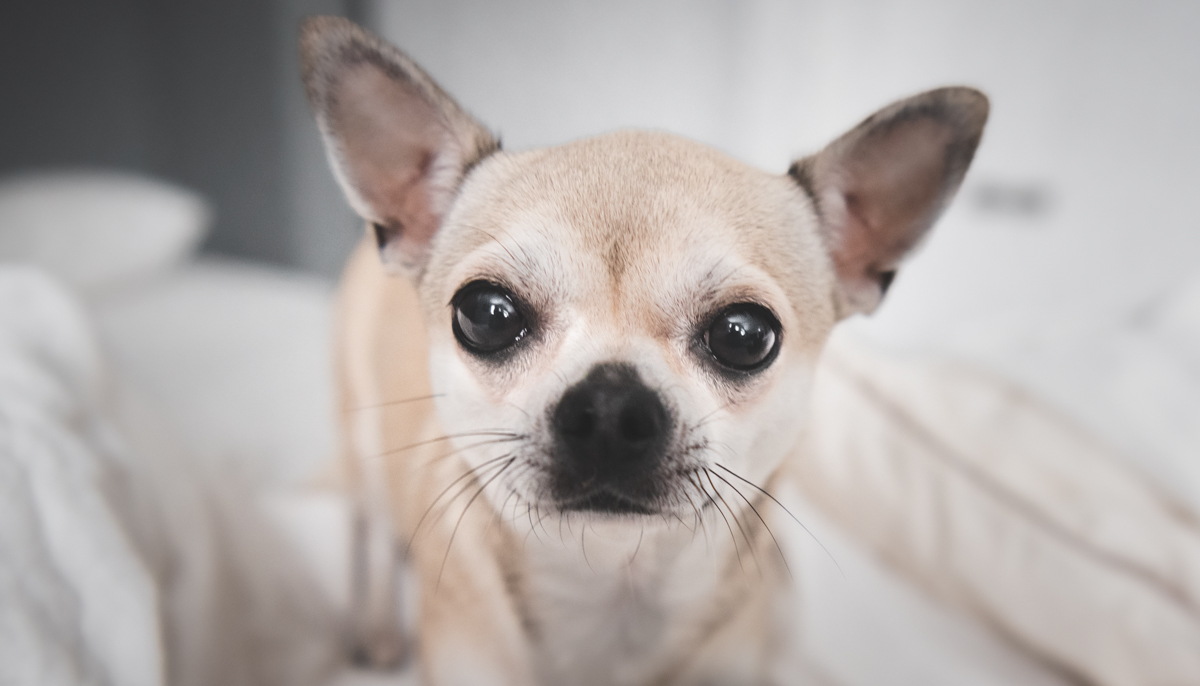 Chihuahua Pentu